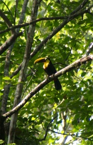 A toucan in a tree